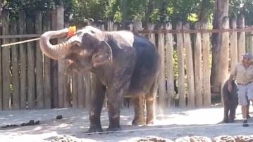 elephantcleansselfwithbroom